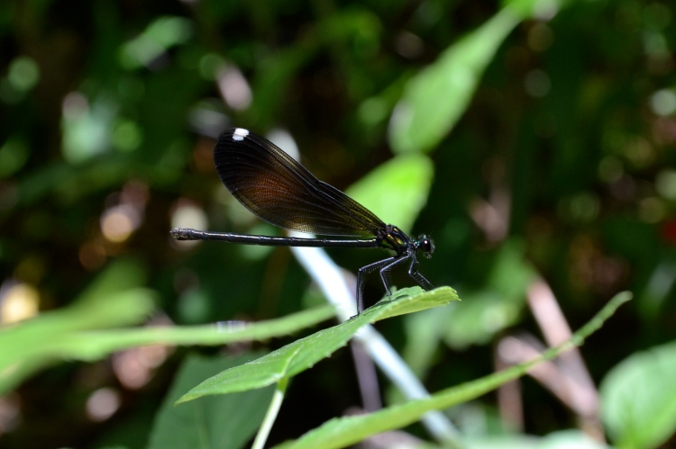 Dragonfly with black wings